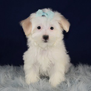 Josie Maltipoo puppy for sale in MD