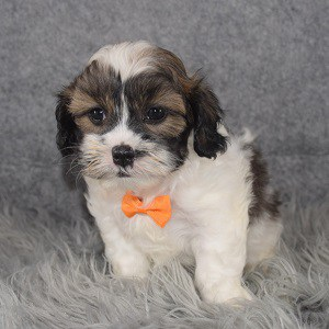 Teddypoo Puppy For Sale – Kenny, Male – Deposit Only