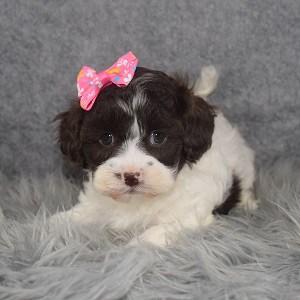 Teddypoo Puppy For Sale – Kenzie, Female – Deposit Only