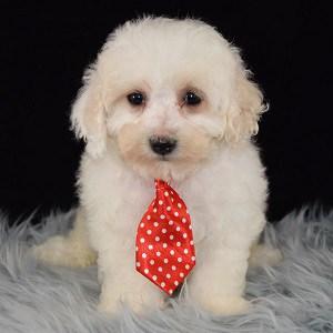 Kody Maltipoo puppy for sale in DE