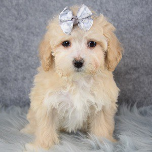 Margo Maltipoo puppy for sale in NY