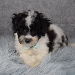 Private: Teddypoo Puppy For Sale – Marshall, Male – Deposit Only