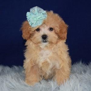 Petunia Teddypoo puppy for sale in DE