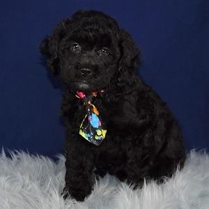 Teddypoo Puppy For Sale – Teddy, Male – Deposit Only