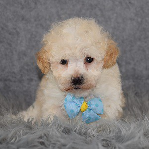 Maltipoo Puppy For Sale – Theo, Male – Deposit Only