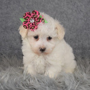 Maltipoo Puppy For Sale – Thora, Female – Deposit Only