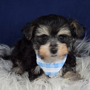 Camshaft Morkie puppy for sale in DE