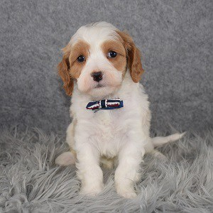 Cavapoo Puppy For Sale – Mario, Male – Deposit Only