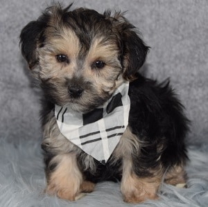 Monroe Morkie puppy for sale in DE