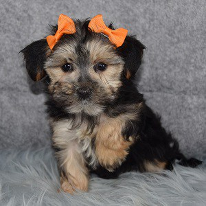 Norma Jean Morkie puppy for sale in NJ