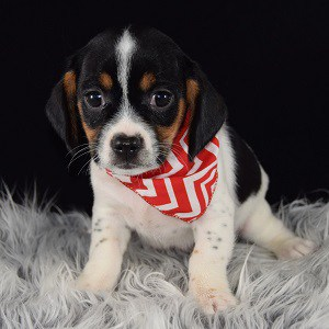 Sproles CavaJug puppy for sale in MD