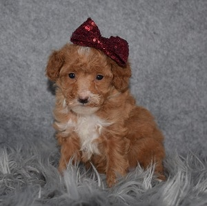 Poodle Puppy For Sale – Bubbles, Female – Deposit Only