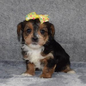 Yorkiepoo Puppy For Sale – Cuddles, Female – Deposit Only