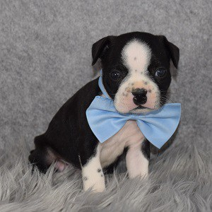 Boston Terrier Puppy For Sale – Geo, Male – Deposit Only
