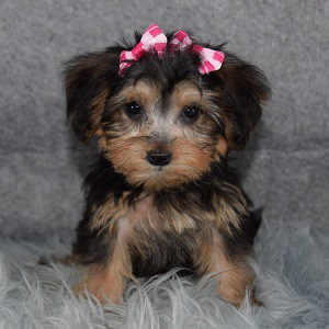 Yorkiepoo Puppy For Sale – Paloma, Female – Deposit Only