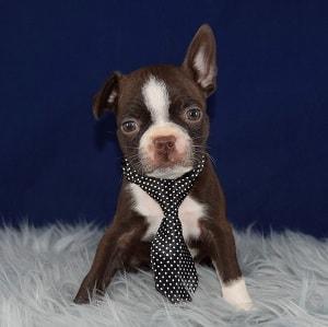 Patton Boston Terrier puppy for sale in VA