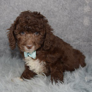 Poodle Puppy For Sale – Preston, Male – Deposit Only