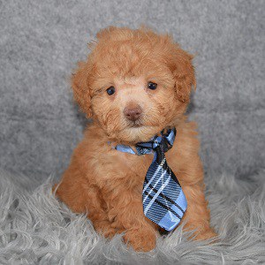 Poodle Puppy For Sale – Skippy, Male – Deposit Only