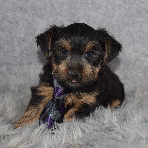 Yorkie Puppy For Sale – Ukulele, Male – Deposit Only