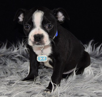 boston terrier puppies virginia male boston terrier puppy for sale indigo puppies for 2043
