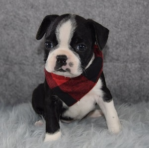 Boston Terrier Puppy For Sale – Bruno, Male – Deposit Only