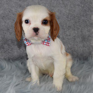 Male Cavalier Puppy For Sale Cupid Puppies For Sale In Pa Dc Md Va Ri