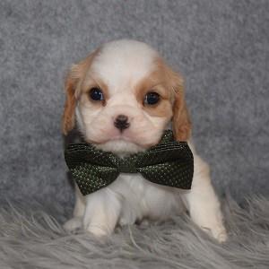 Cavalier Puppy For Sale – Duke, Male – Deposit Only