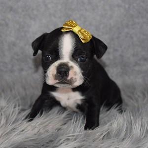 Boston Terrier Puppy For Sale – Giselle, Female – Deposit Only