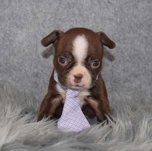 Boston Terrier Puppy For Sale – Gus, Male – Deposit Only