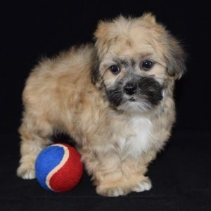 LhasapooTzu puppy for sale in PA