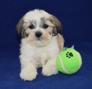 Lhasapootzu puppy for sale in NJ
