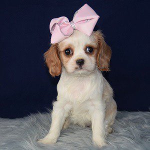 Female Cavalier Puppy For Sale Merry Puppies For Sale In Pa Ny Dc Ri