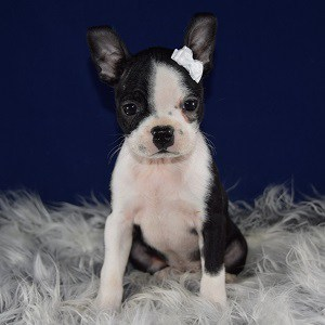 Boston Terrier Puppy For Sale – Patsy, Female – Deposit Only