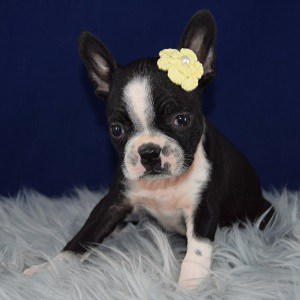 Payton Boston Terrier puppy for sale in WV