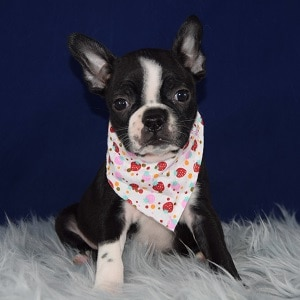 Petra Boston Terrier puppy for sale in DE