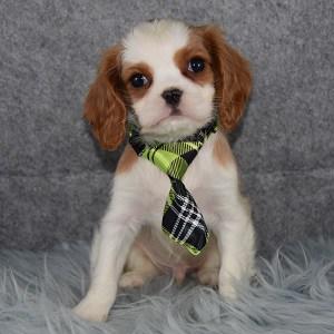 Pippin Cavalier puppy for sale in DE