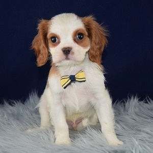 Samwise Cavalier puppy for sale in MD