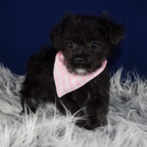 Shorkiepoo puppy for sale in DE