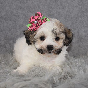 Shichon Puppy For Sale – Sunbeam, Female – Deposit Only