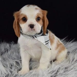 Torpedo Cavalier puppy for sale in CT