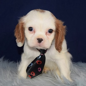 Valentine Cavalier puppy for sale in MD