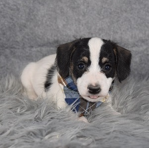 Jackchon Puppy For Sale – Caterpillar, Male – Deposit Only