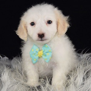 Elio Havachon puppy for sale in NJ