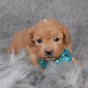 Shihpoo Puppy For Sale – Emerson, Male – Deposit Only