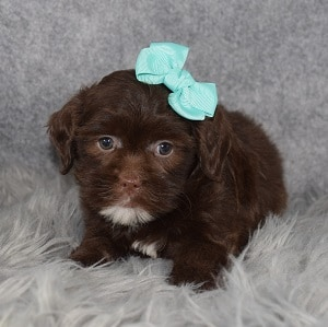 Shihpoo Puppy For Sale – Fiona, Female – Deposit Only
