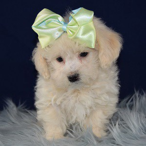 Juniper Havachon puppy for sale in VA