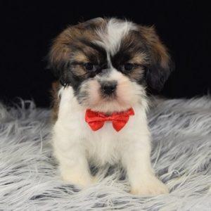 PekaTzu puppy for sale in PA