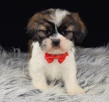 PekaTzu puppy for sale in PA