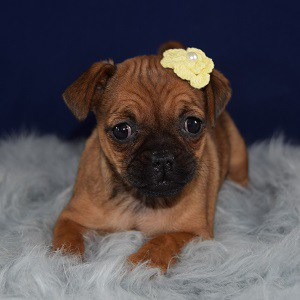 Jug Puppy For Sale – Autumn, Female – Deposit Only