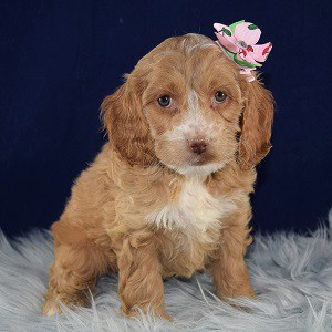 Bisque Cockapoo puppy for sale in MA